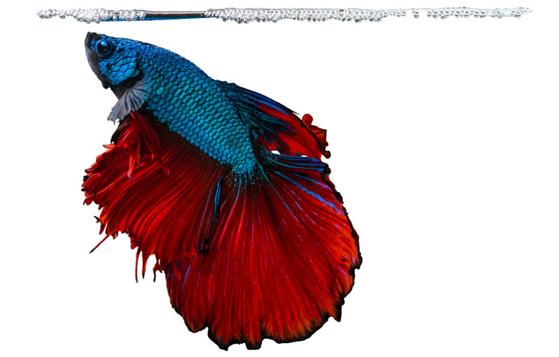 bettamania reproduccion pez betta