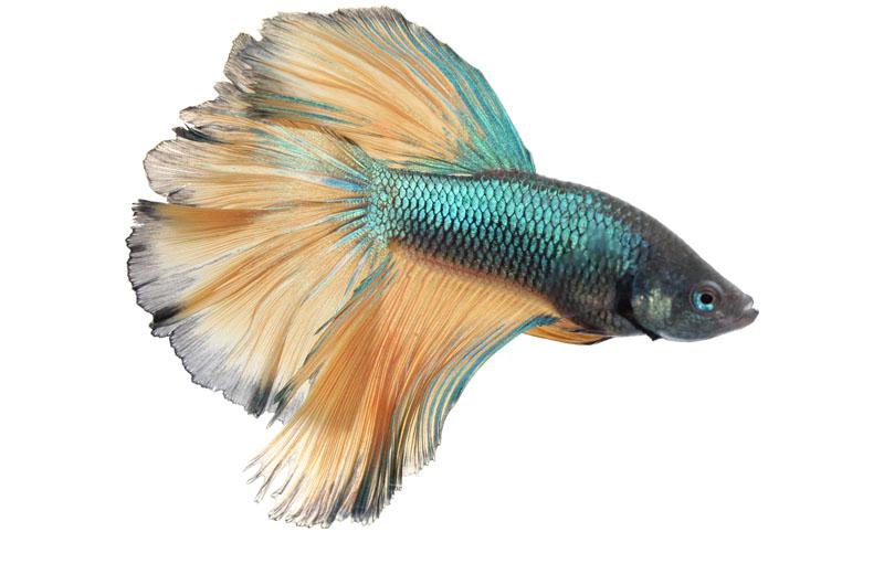 pez betta colores