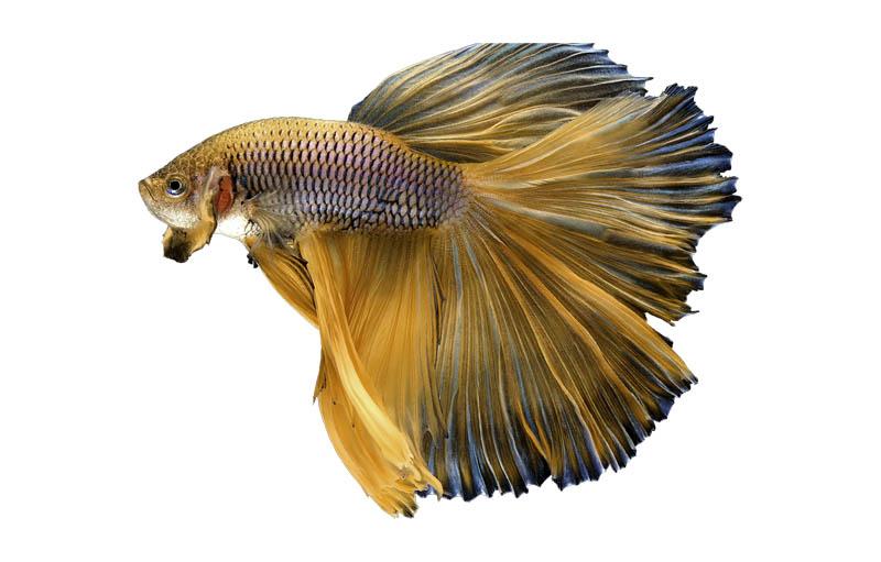 cuidados alevines pez betta