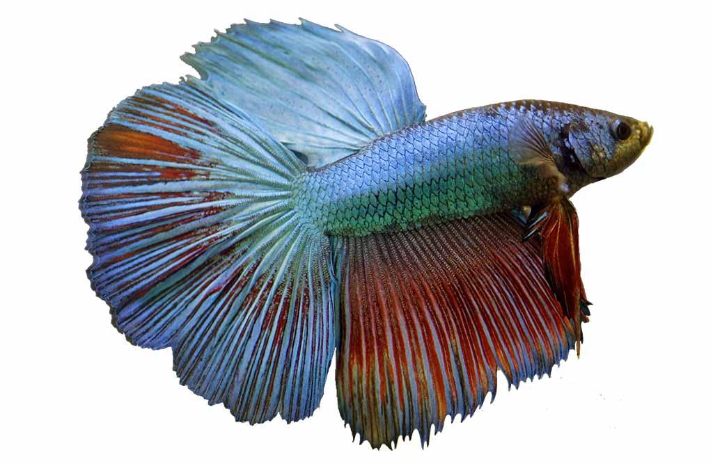 cuidados peces betta