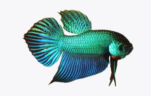 pez betta verde