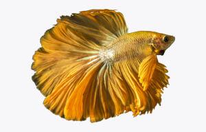pez betta amarillo
