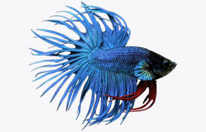 pez betta azul royal