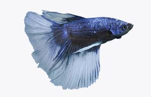 pez betta azul steel