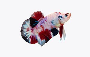 pez betta marmol