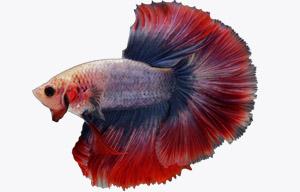 enfermedades pez betta