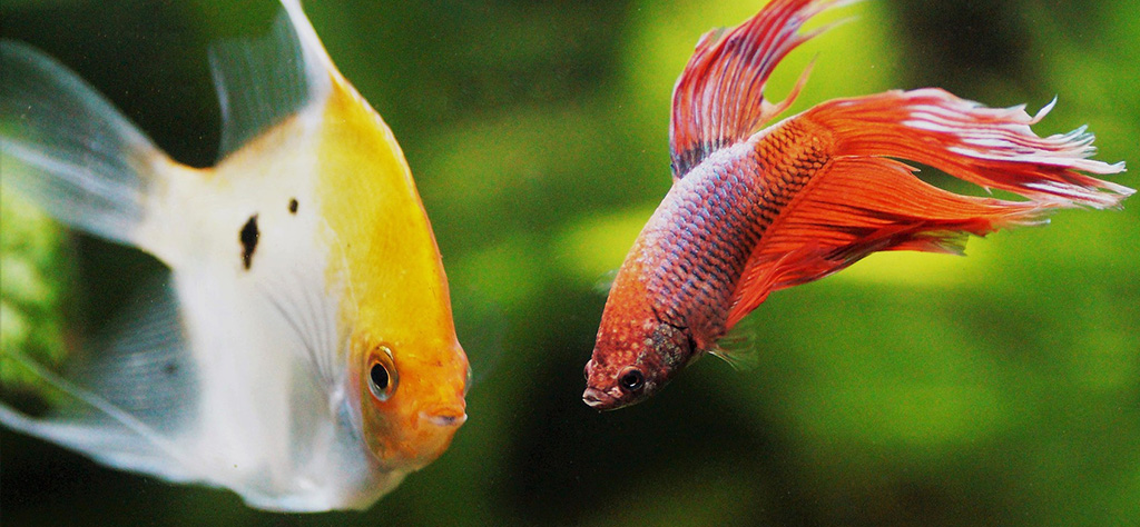 compatibilidad pez betta