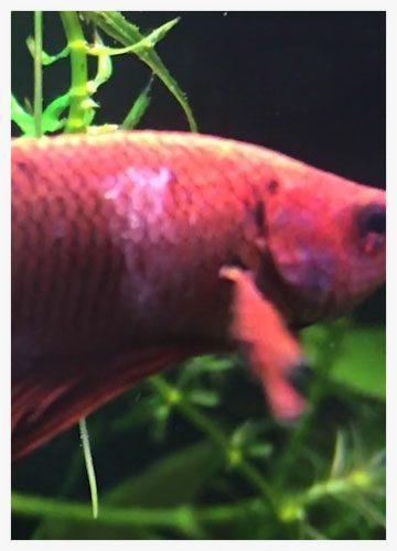 columnaris pez betta