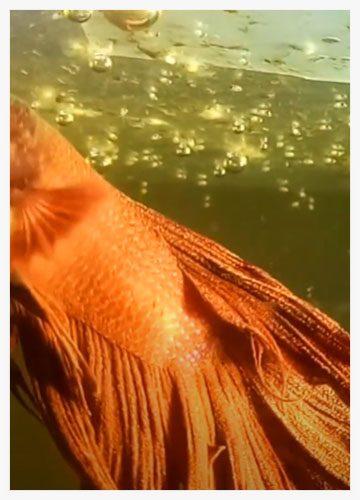pez betta terciopelo o velvet