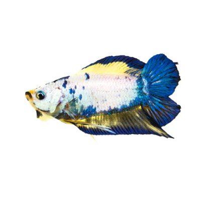 pez betta doble cola hembra