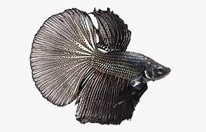 pez betta negro