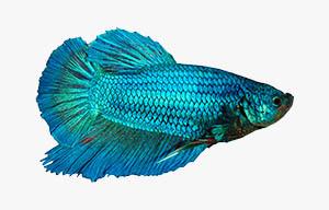 pez betta turquesa